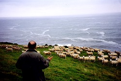 [Sheep seen from a visitor's view]